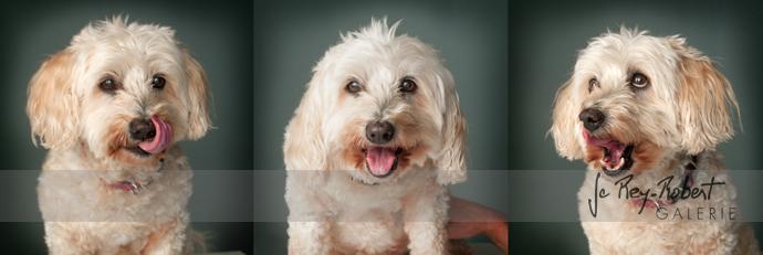 photo de chiens romans drome