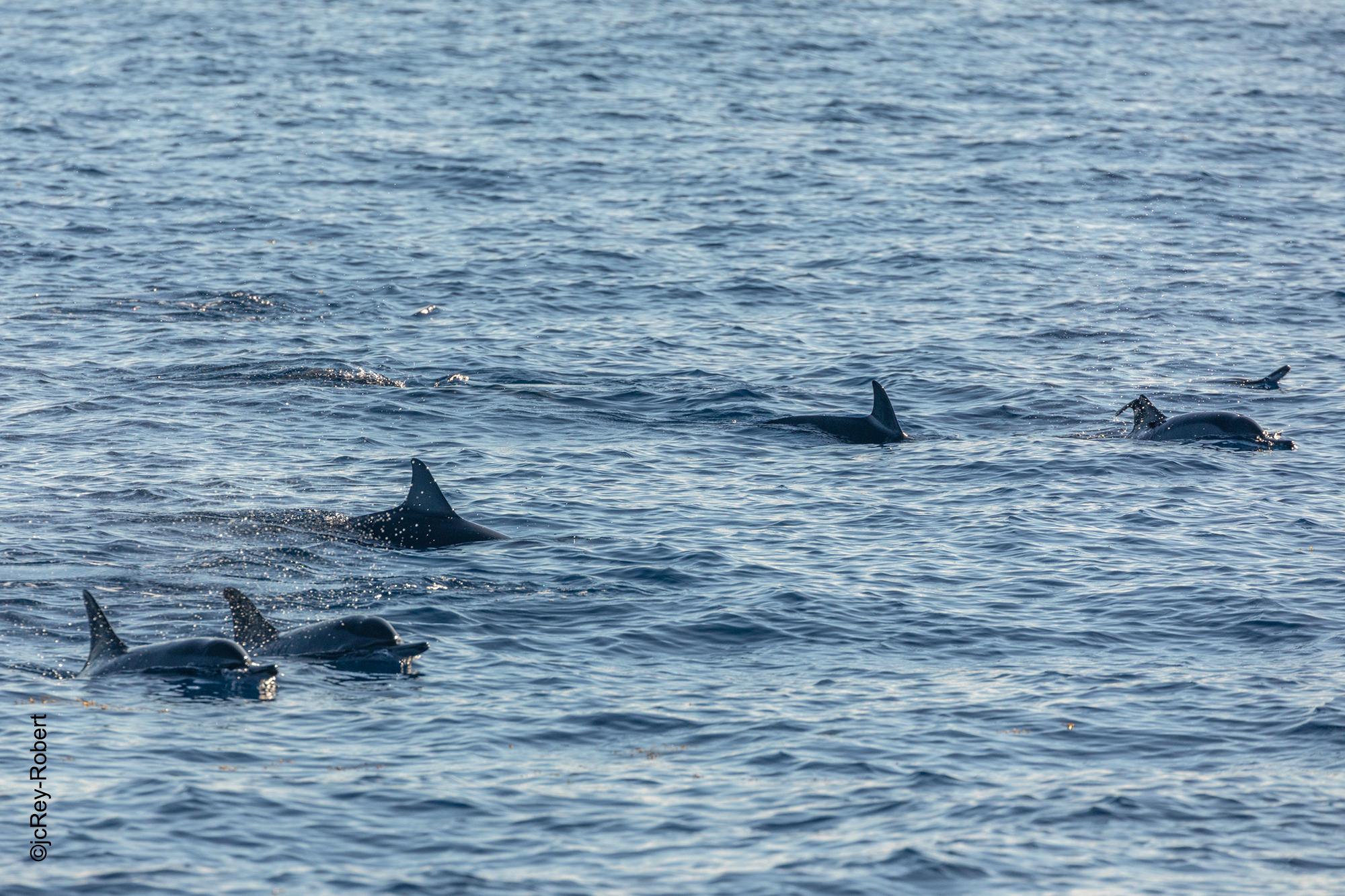 dauphin en bande